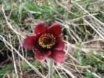 Adonis' flower